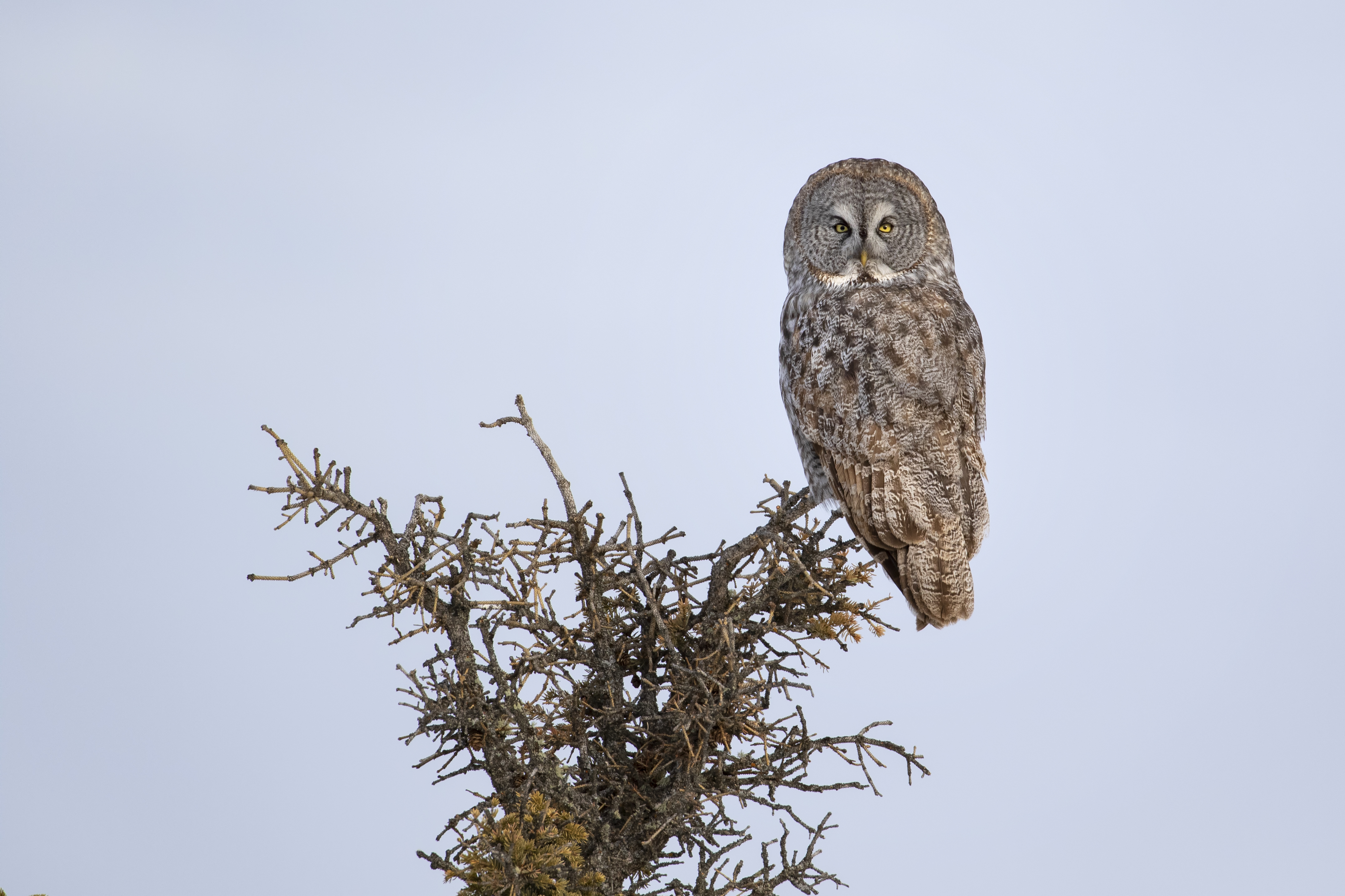 Great Grey Owl Stare