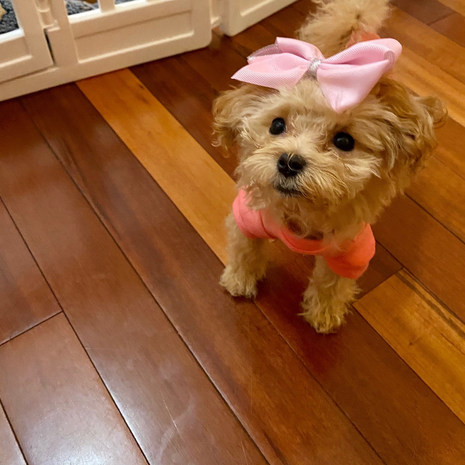Lilly Maltipoo