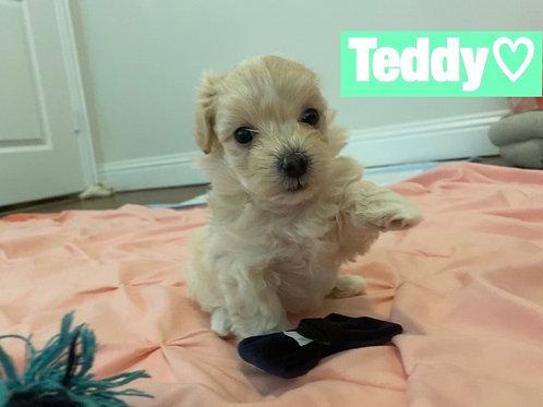 Teddy-Maltipoo (1127)