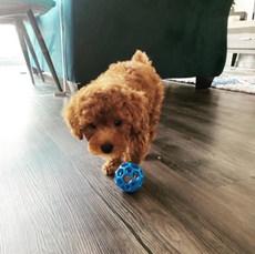 Ben Toy poodle