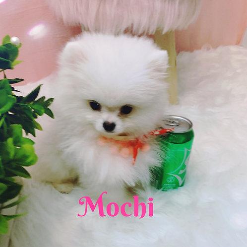 Mochi-Pomeranian (1089)