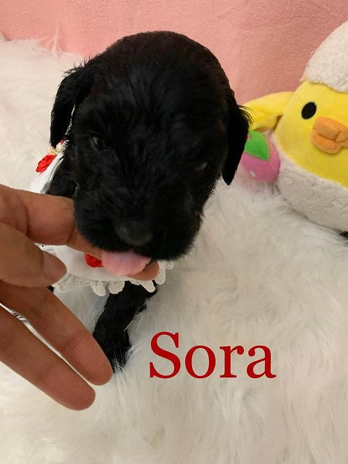 Sora-Goldendoodle (1141)