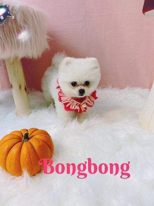 Bongbong -Pomeranian (1091)