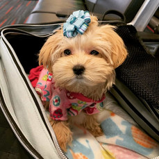 Candy Maltipoo