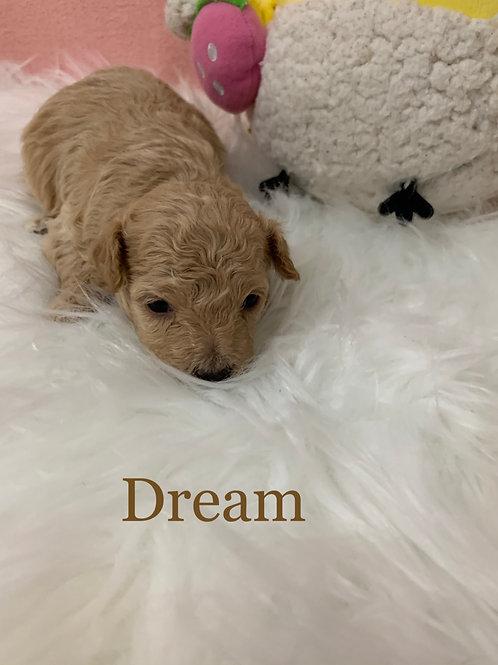 Dream-Maltipoo (1137)