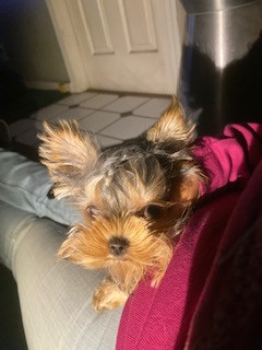 Joy Yorkshire Terrier