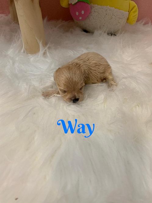 Way-Maltipoo (1100)