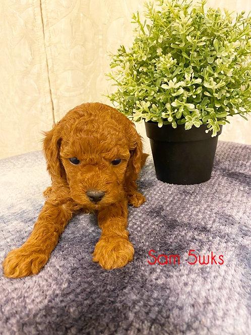 Sam-Toy Poodle(1135)
