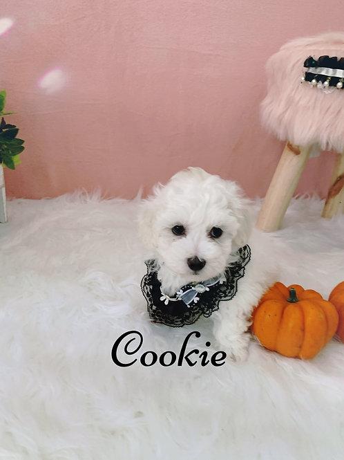 Cookie -Maltipoo (1085)