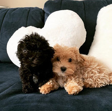 Jenny & Duke Maltipoo