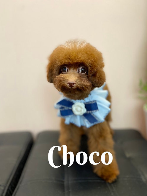 Choco-t-cup poodle (1092)