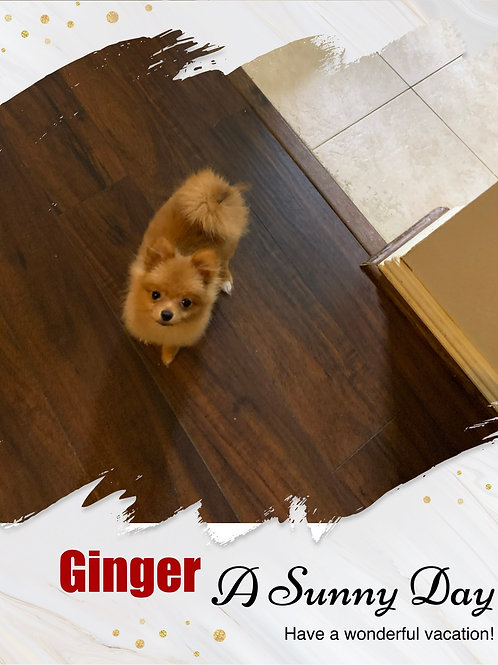 Ginger-Teacup Pomeranian (1045)