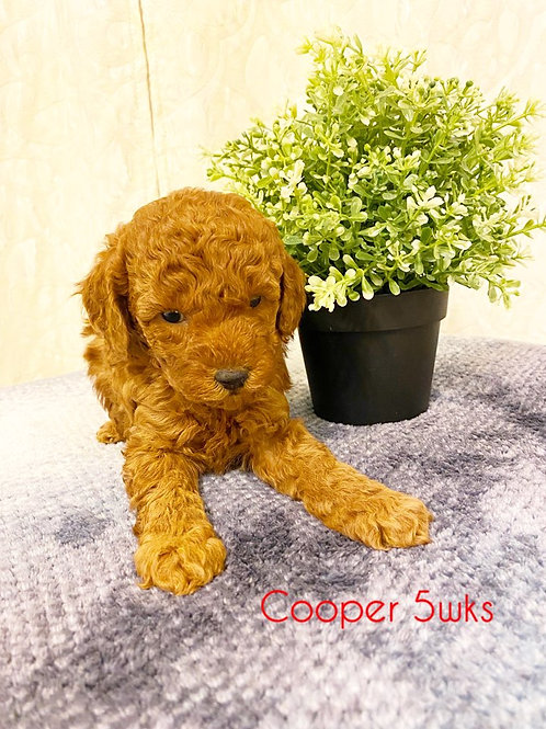 Cooper-Toy Poodle(1136)