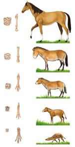 Evolución del caballo