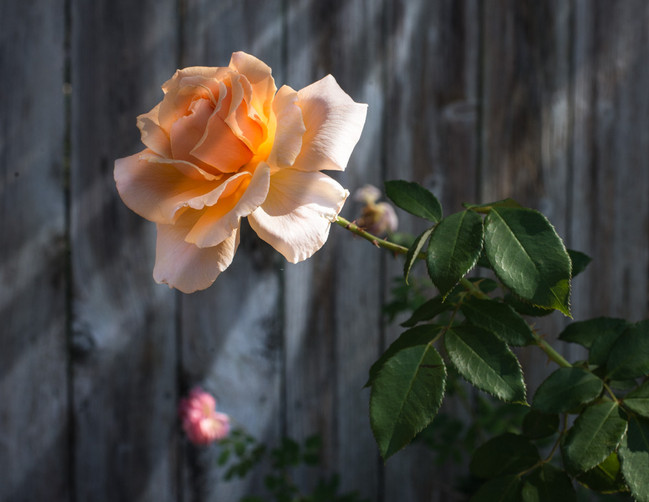 Light falling on a rose