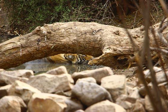 A Tiger Safari in Ranthambore