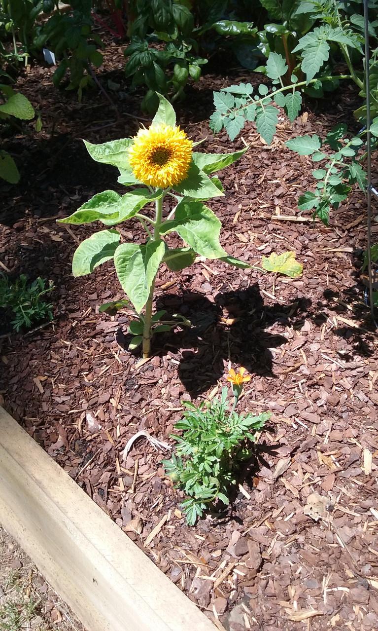 tyler sunflower june20170620_123047 (1)