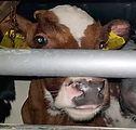 ramsgate-calf-kent-animal-save-3_540px_e