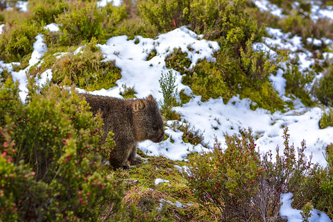 Animal_Wombat DSC_0129-2.jpg