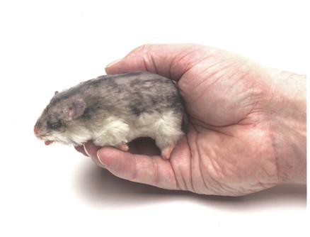 'Dead' Hamster
