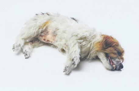 'Dead' Jack Russel Dog
