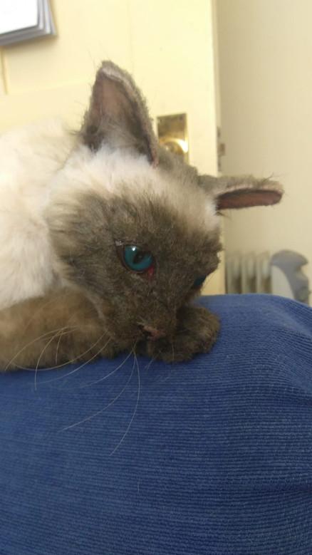 Tonkinese Cat Puppet