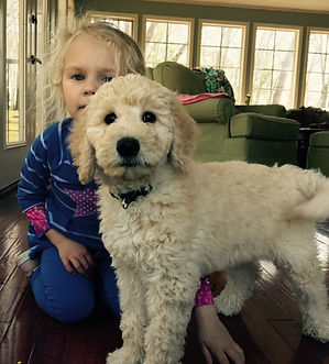Puppy Cultue Goldendoodle