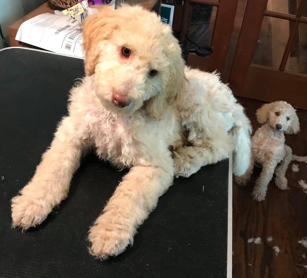 Summer Goldendoodle haircuts