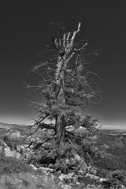 Bryce Pine