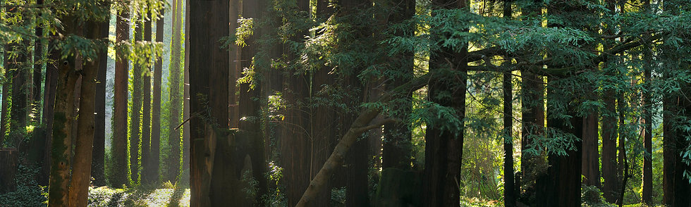 Redwood Forest Detail, CA