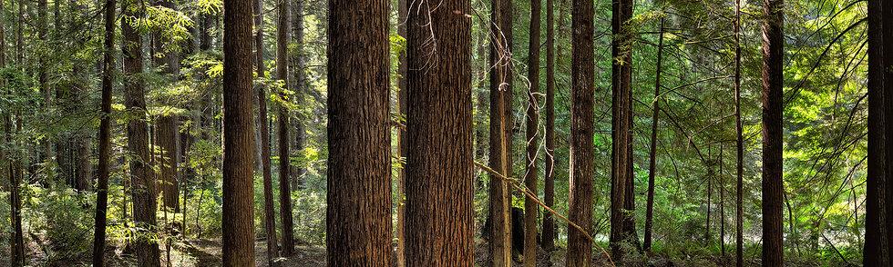 Humboldt State Park Redwoods