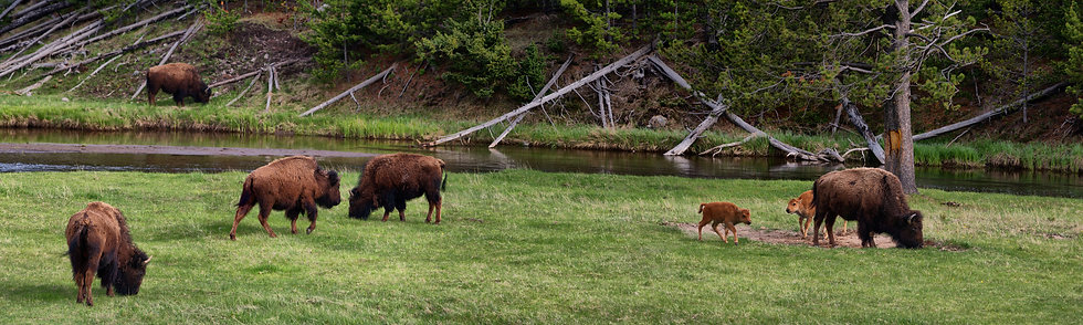 Bison in Spring, Yellowstone NP