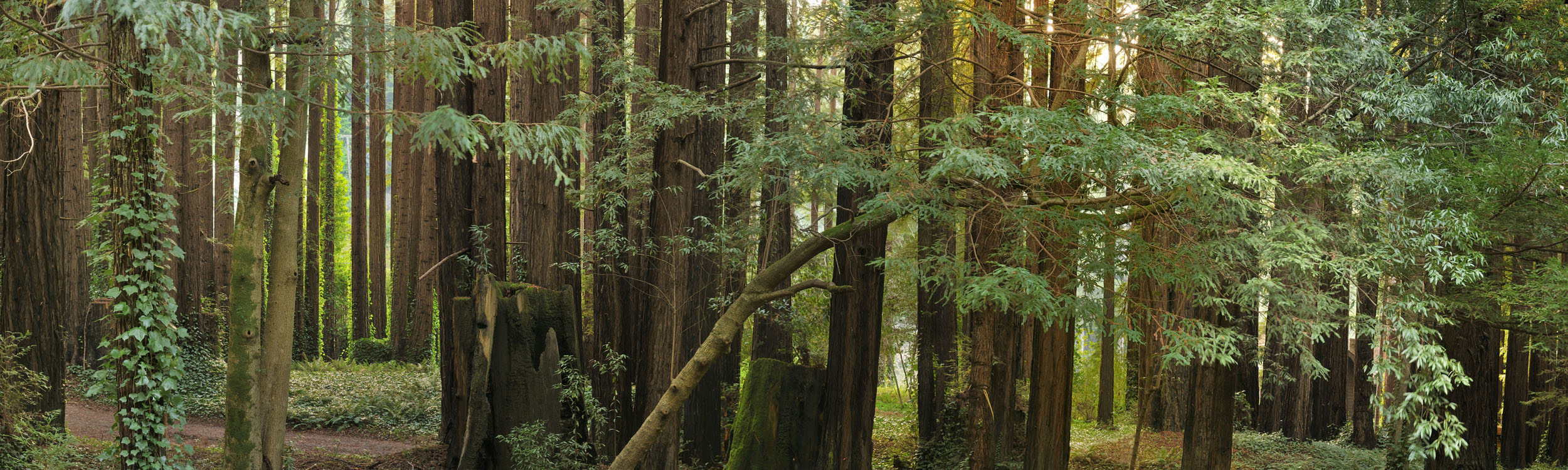 Redwood Grove near Monte Rio, CA