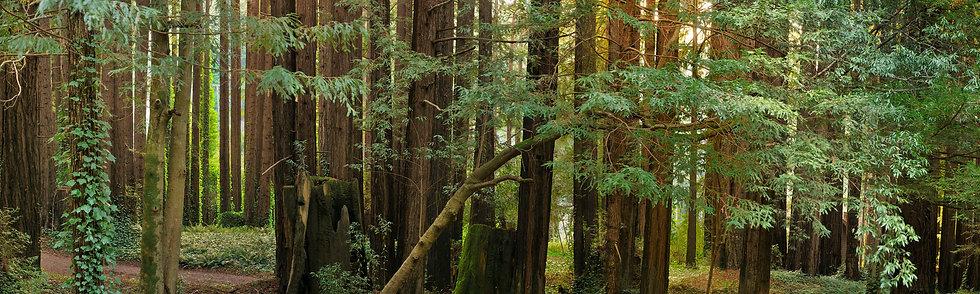 Redwood Grove near Monte Rio, CA