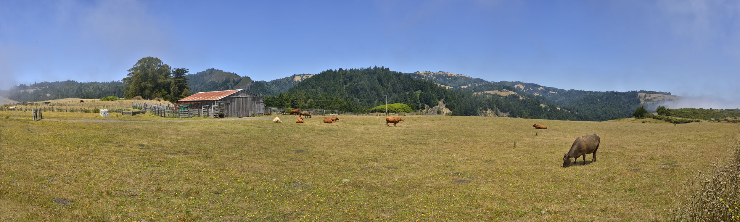 Cattle at Meyers Grade Ranch, CA