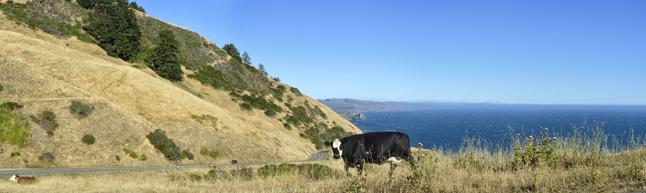 Cows along Coastal Highway, CA
