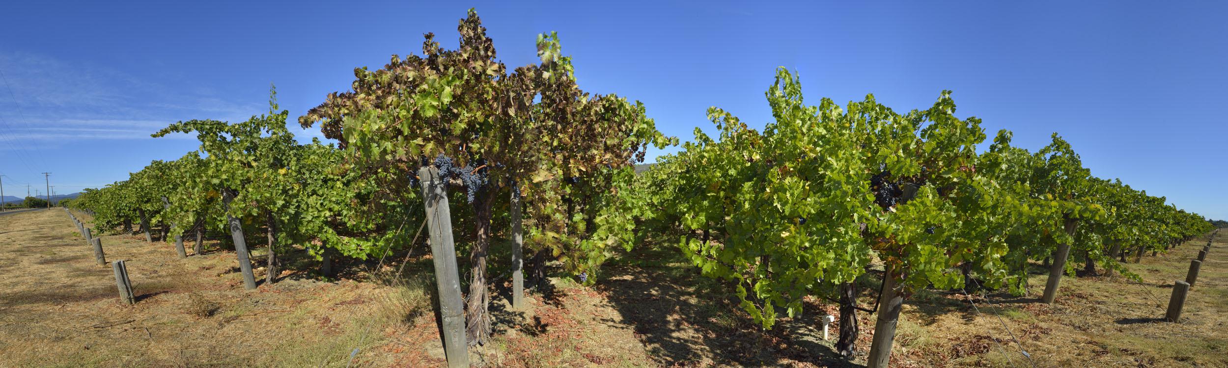 Vineyards at Harvest Time