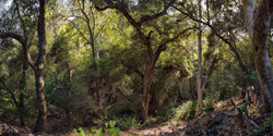 Forest in Pinnacles NP