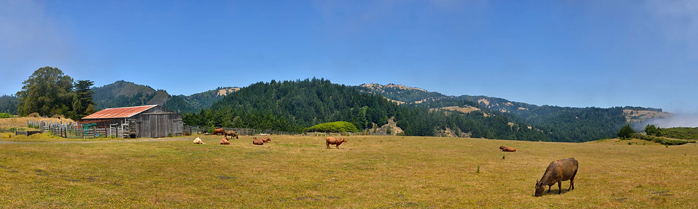 Cattle at Meyers Grade, CA