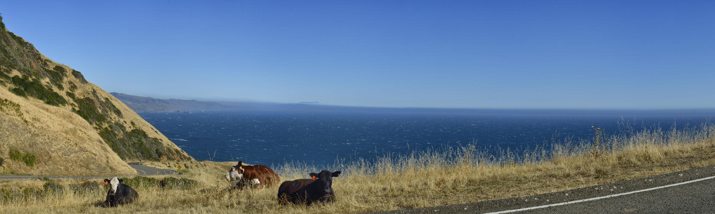 Cows Resting, CA