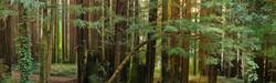 small Redwood Grove near Monte Rio, CA