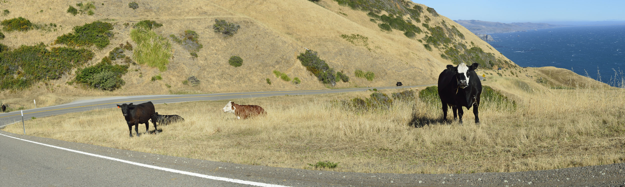 Cattle Along Coastal Highway, CA