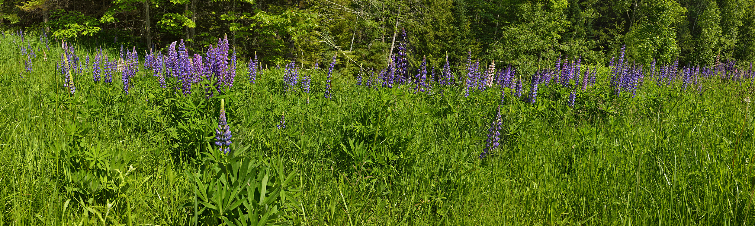 Lupine in Field near Lake Superior