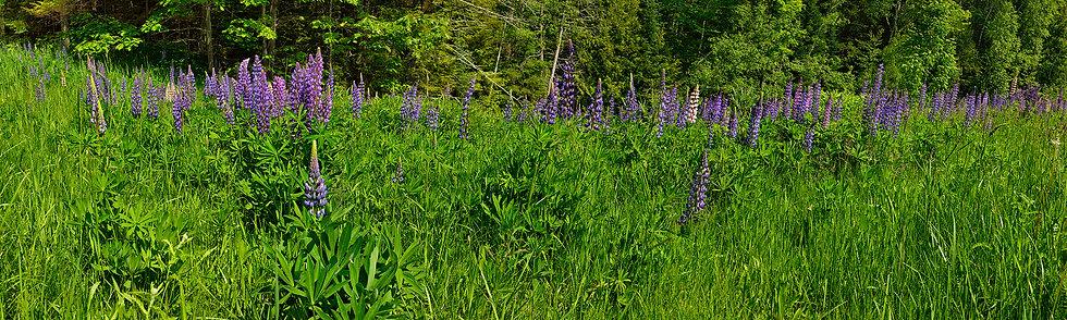 Lupine in Field near Lake Superior