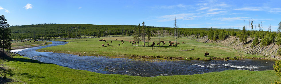 Bison in Gibbon River Meadow, Yellowstone NP