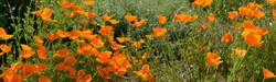 Poppies in Field, CA