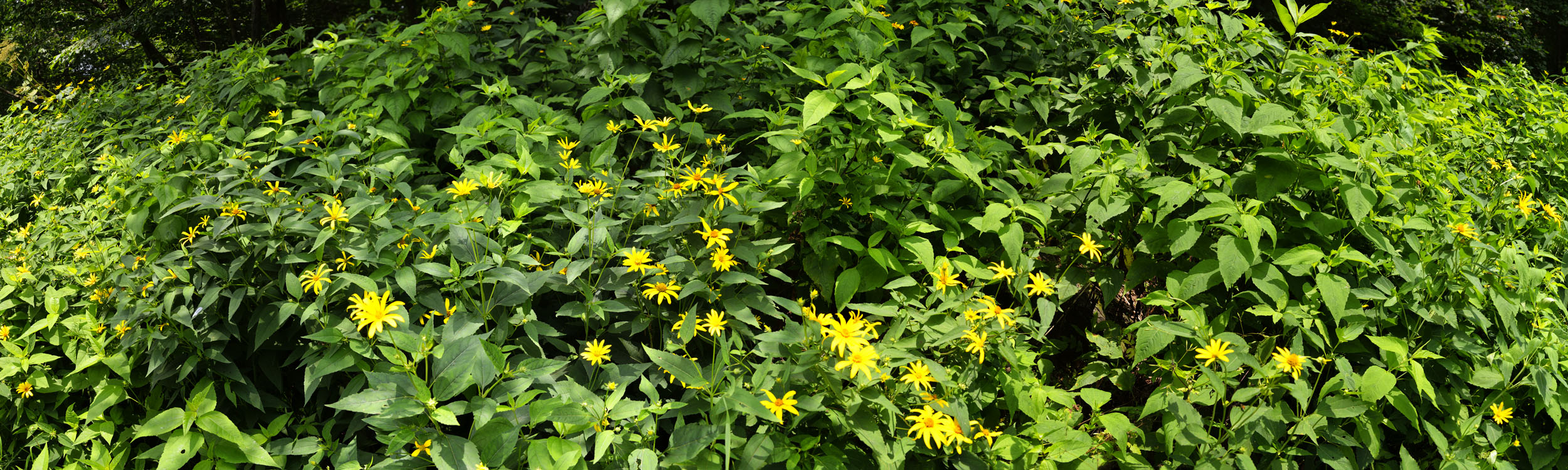 Summer Flowers, Shennandoah NP