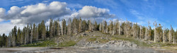 Bleached Trees in Yellowstone