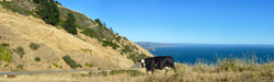 small Cows along Coastal Highway, CA