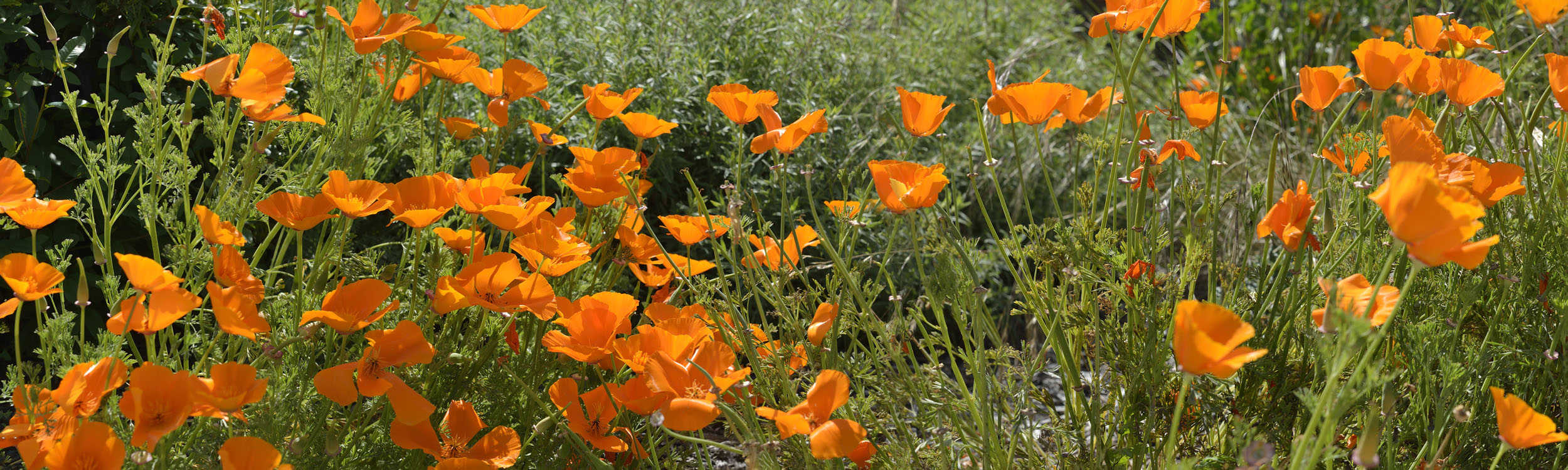 small Poppies in Field, CA